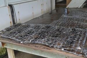Filets d'huitres après greffe