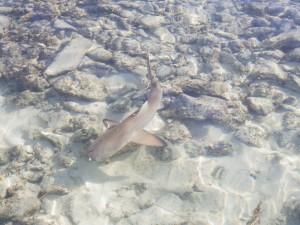 Requin pointe noire de 60cm