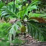 Fruit à pain - le Uru en mangarevien