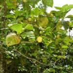 Le noni fruit ovoïde charnu de la grosseur d'une pomme de terre à l'odeur… infecte! Mais c un remède à tous les maux