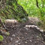 En chemin une famile de cochon